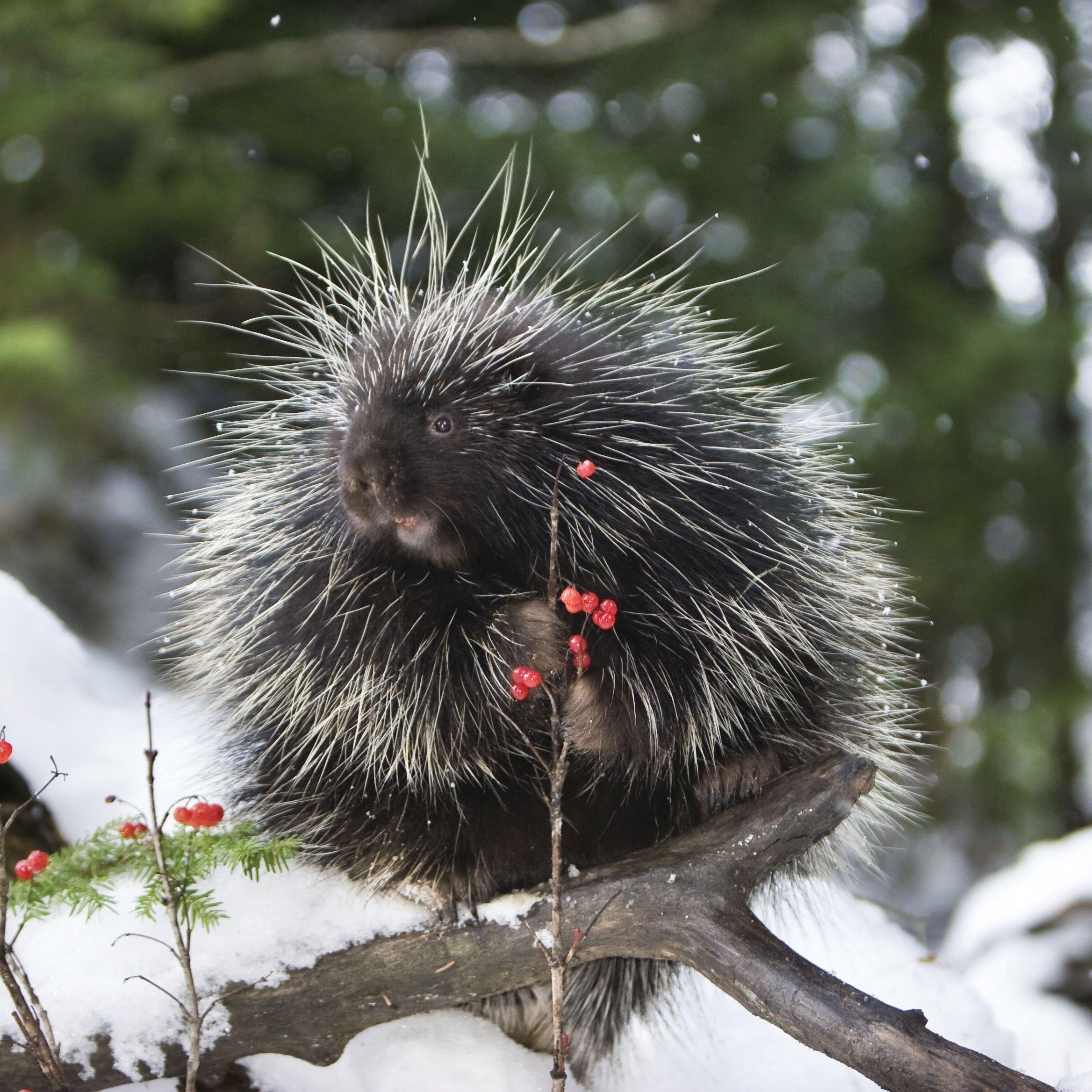 Pcwi 14 porcupine lnummy