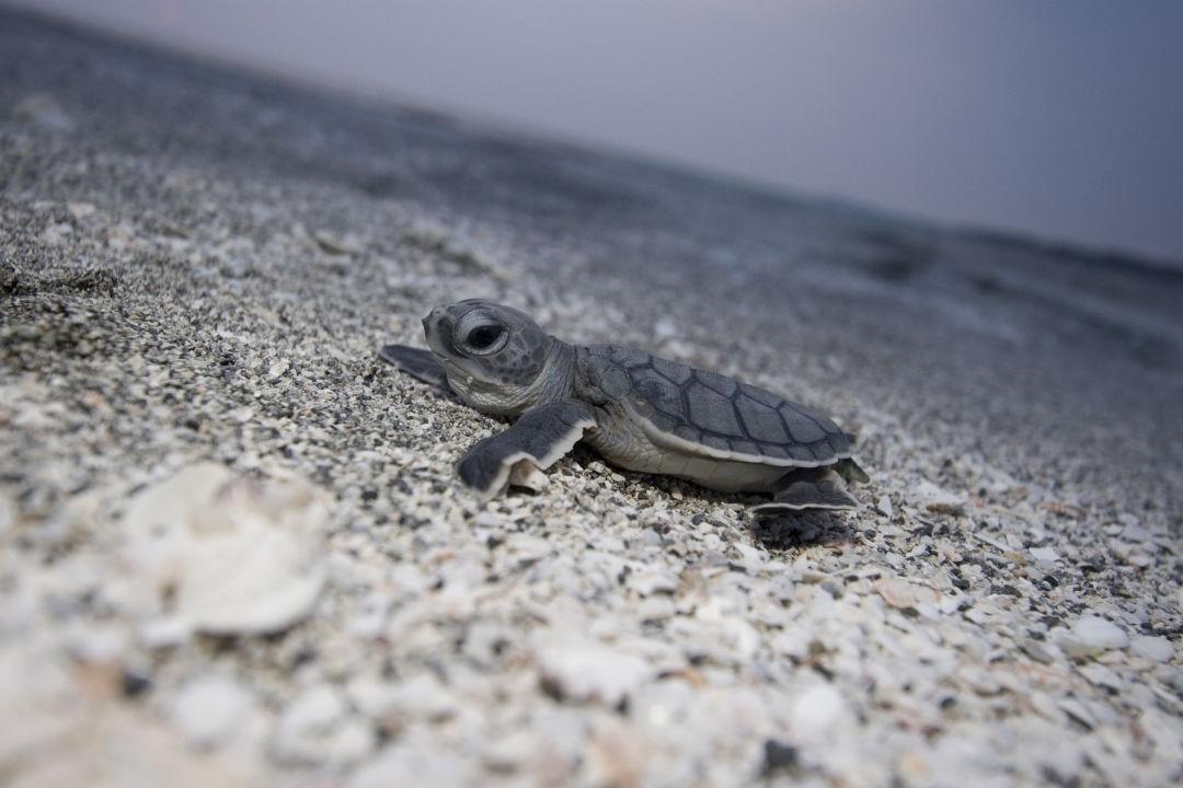 Green sea turtle mote phz6fw