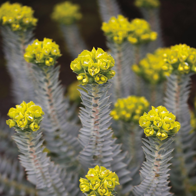 Pomo 0117 winter garden euphorbia ngepca