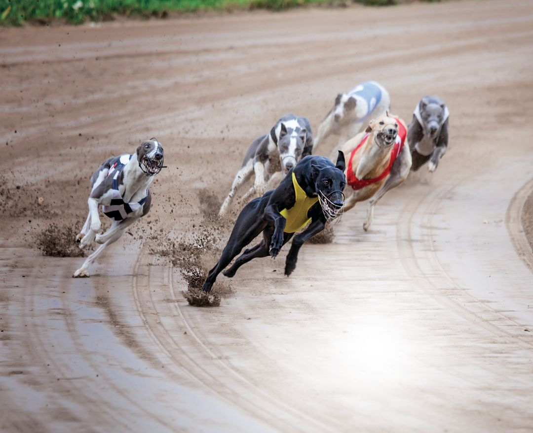 Sarasota Kennel Club Will Hold Last Live Greyhound Races on