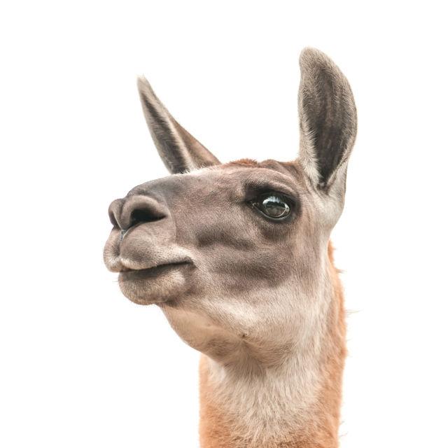 Llama htw9ps