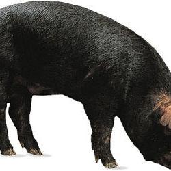 Piggy eiqh7j