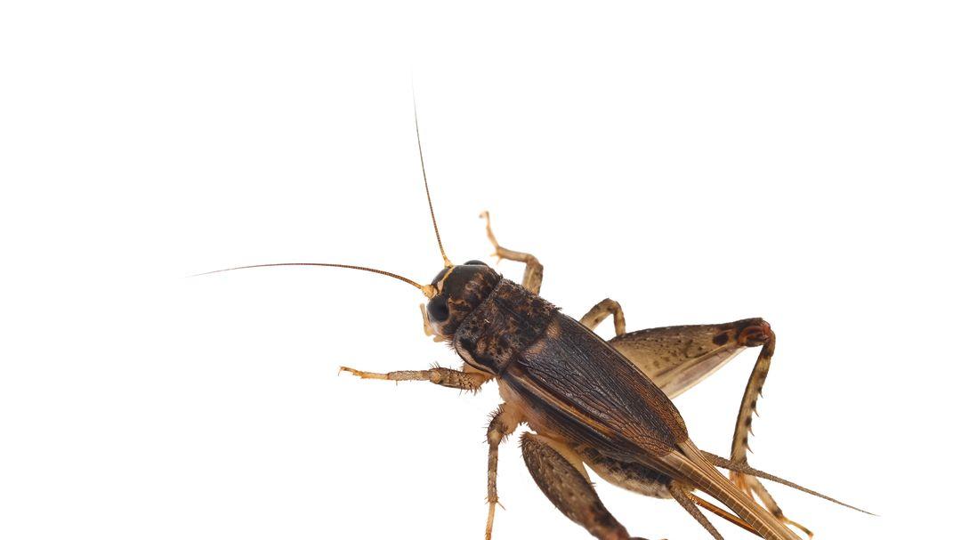 Pomo 0916 cricket hcxztn