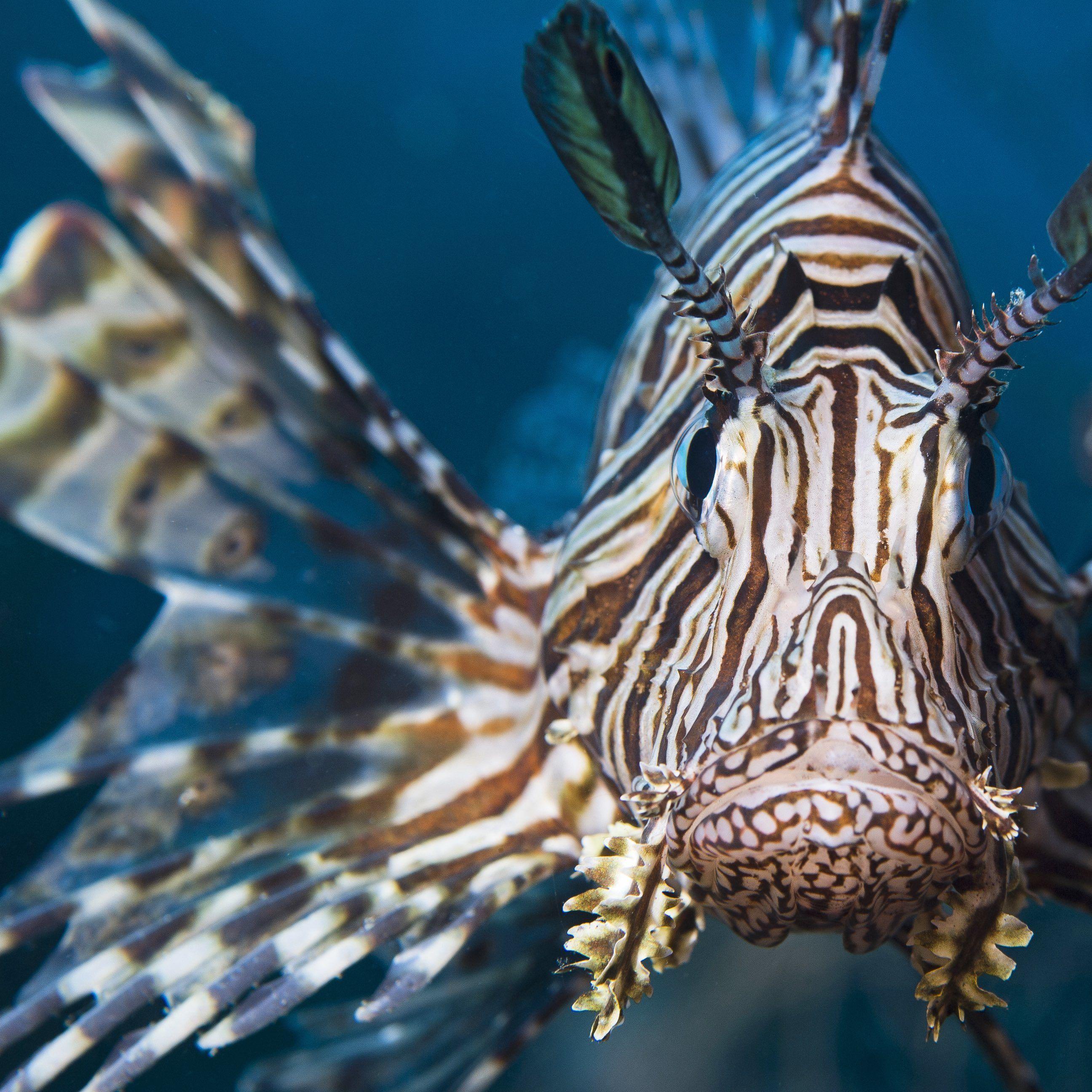 Lionfish rrje3p
