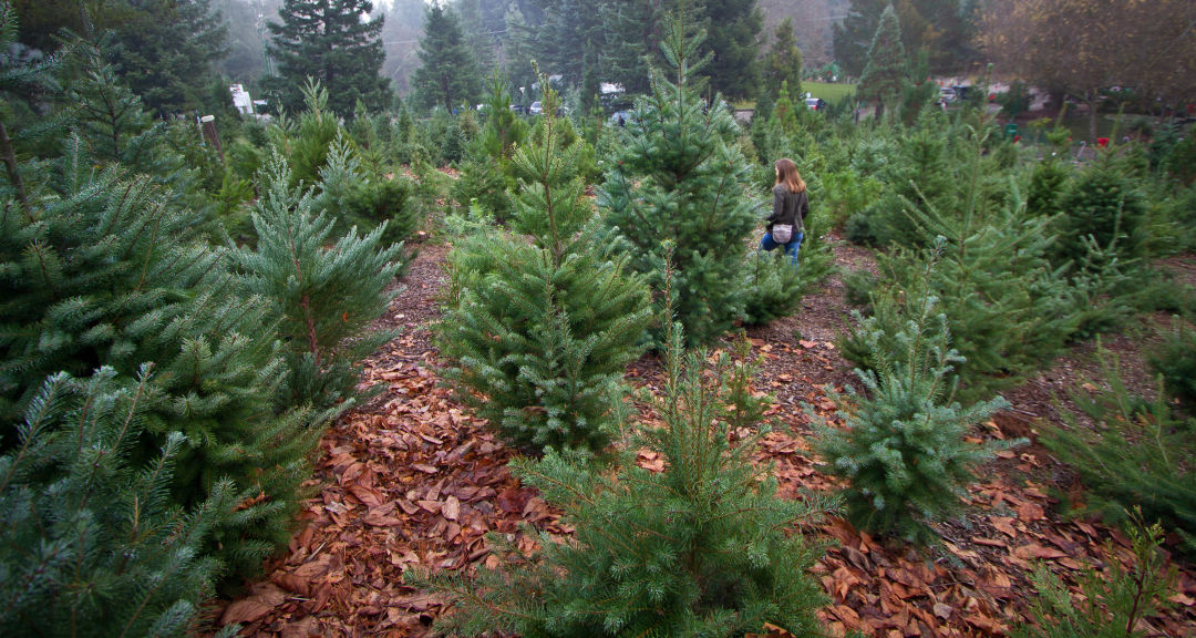 Cut Your Own Christmas Tree Near Me.You Can Cut Down A Christmas Tree In The Wild Seattle Met