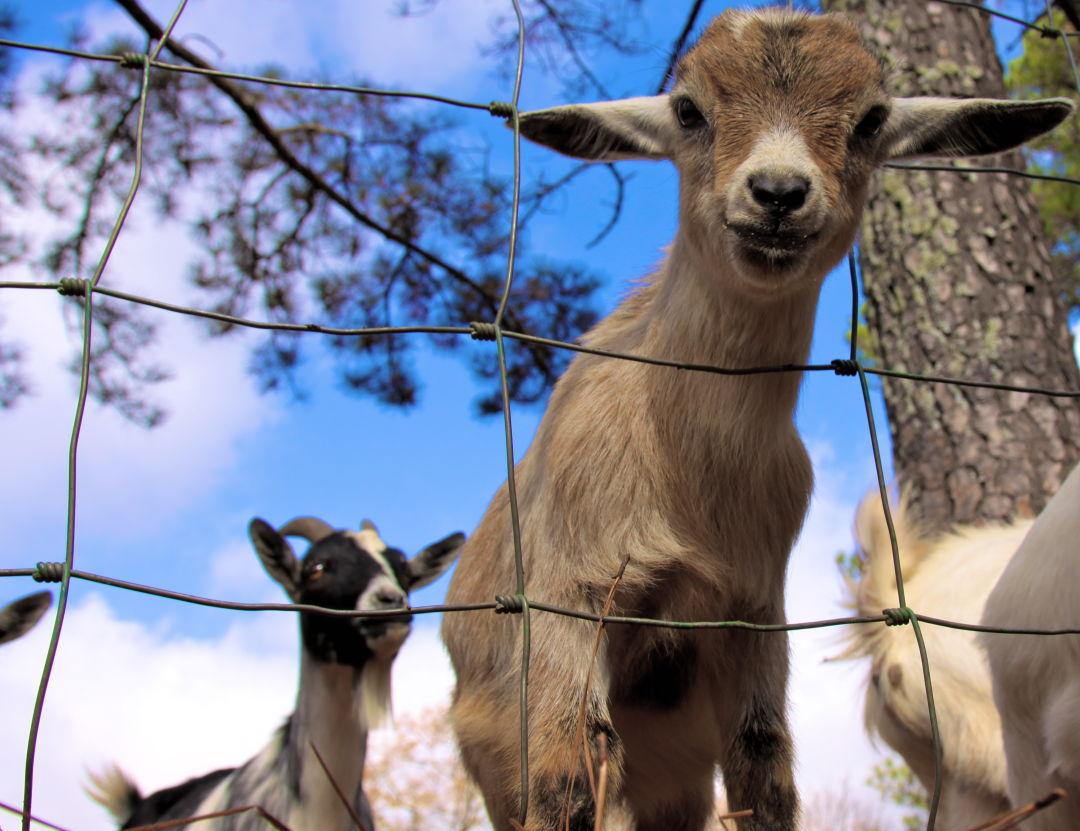 Baby goat trgjxe