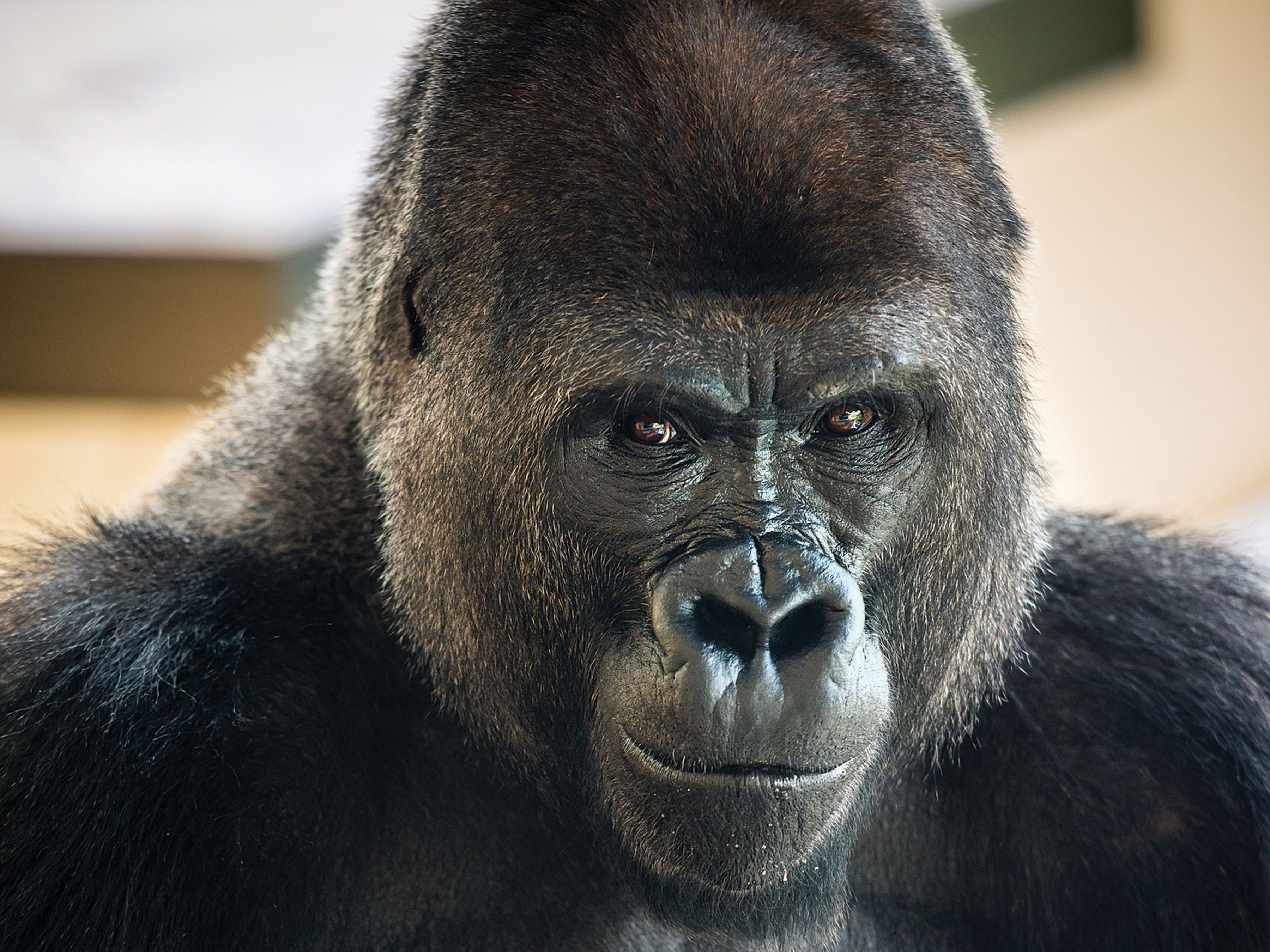 Western lowland gorilla 0002 9487 gmio8o