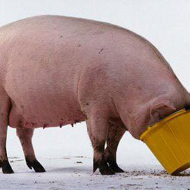 Pig w8zg10