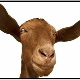 Goat ears abvh7h