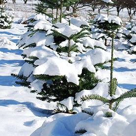 Christmastrees kdiaio