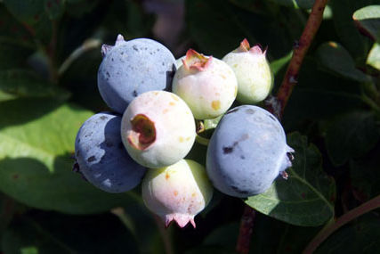 Blueberrybunch488x ryk8d5