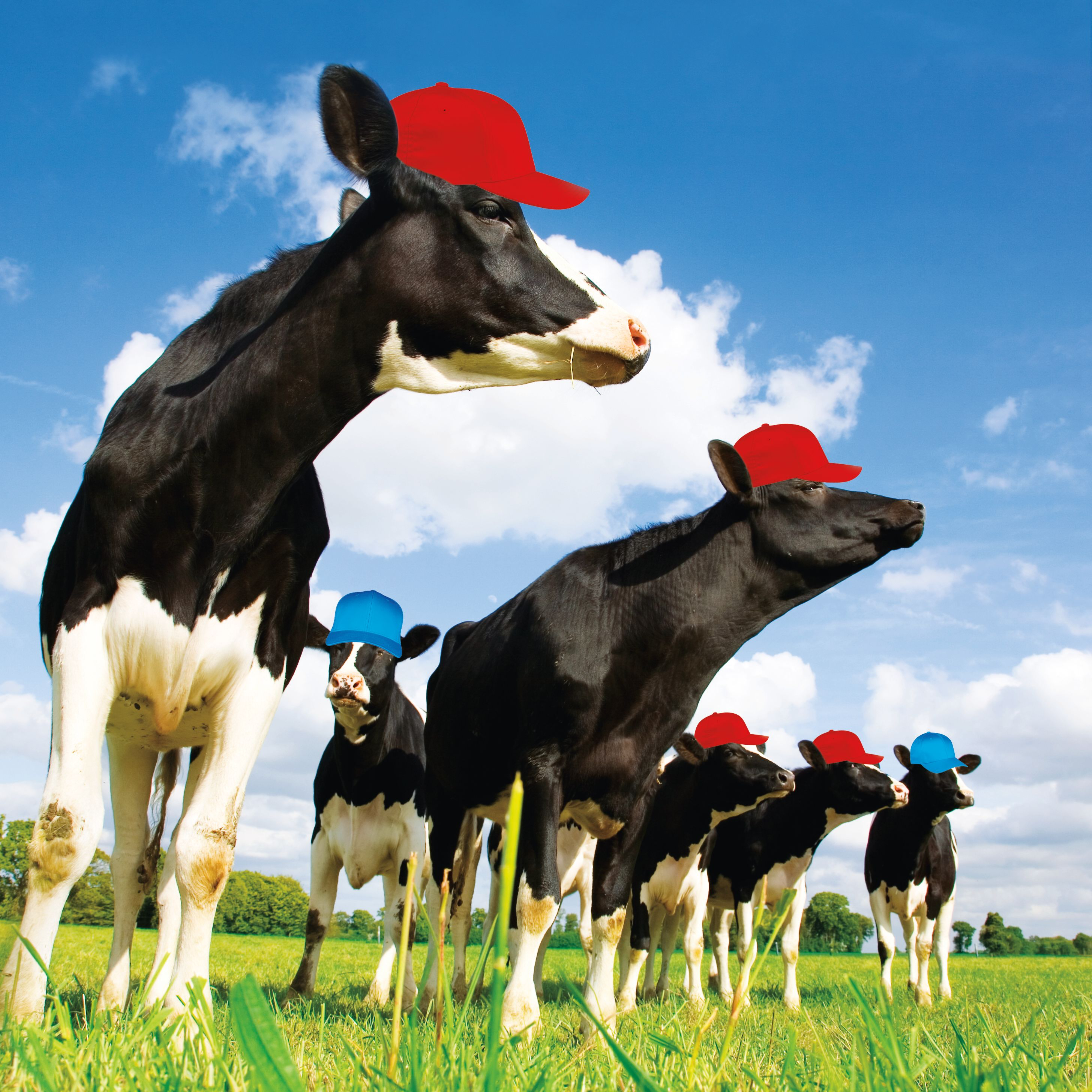 Pomo 0217 tillamook dairy cows wearing hats vqfaeh