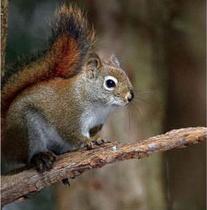 0714 fauna finder squirrel scrluy