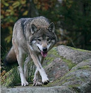 0714 fauna finder wolf cnzdpq