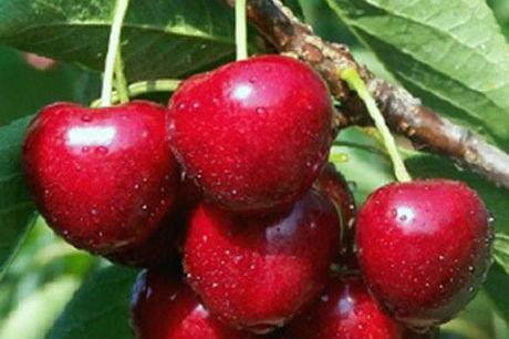 Sweet cherry hswfrv