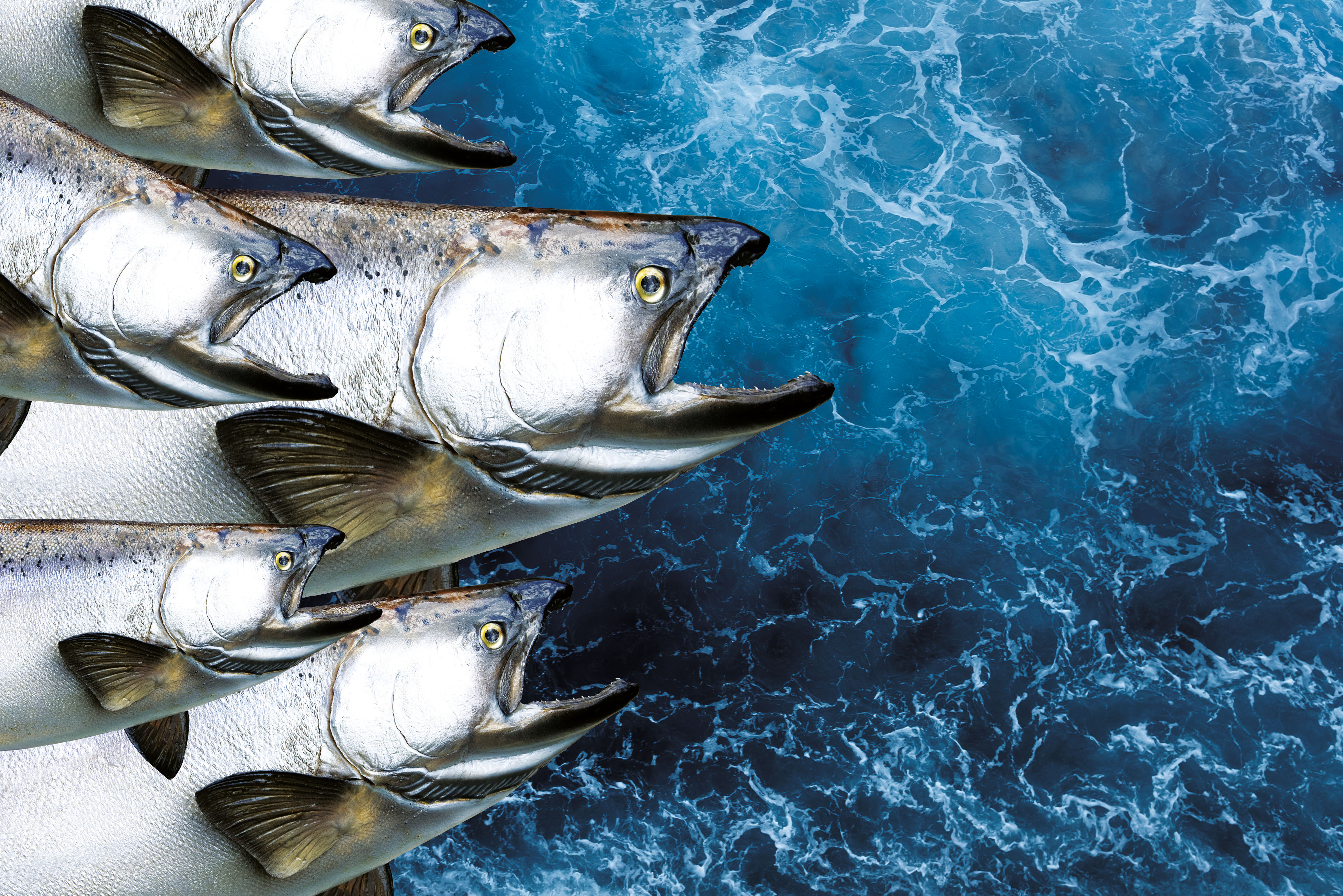 1017 salmon opener i7qjsu