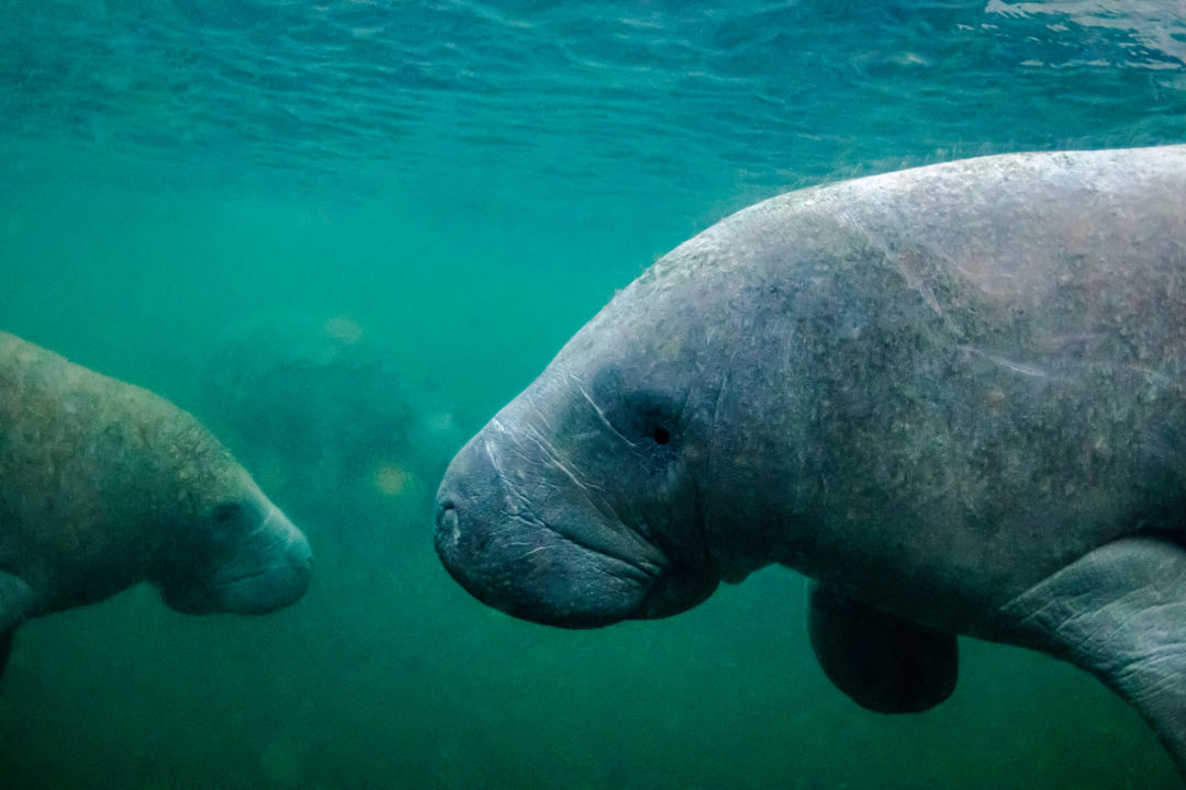 In 2021, 841 manatees have died so far—up from 637 total in 2020.