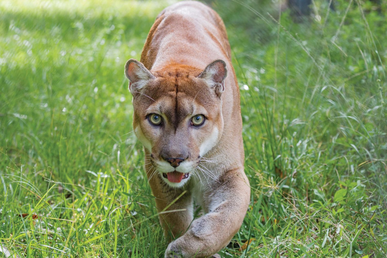The Story Of The Florida Panther Is Worth Telling Sarasota Magazine