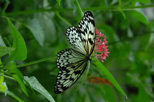 Cbc black and white butterfly ia8kt7