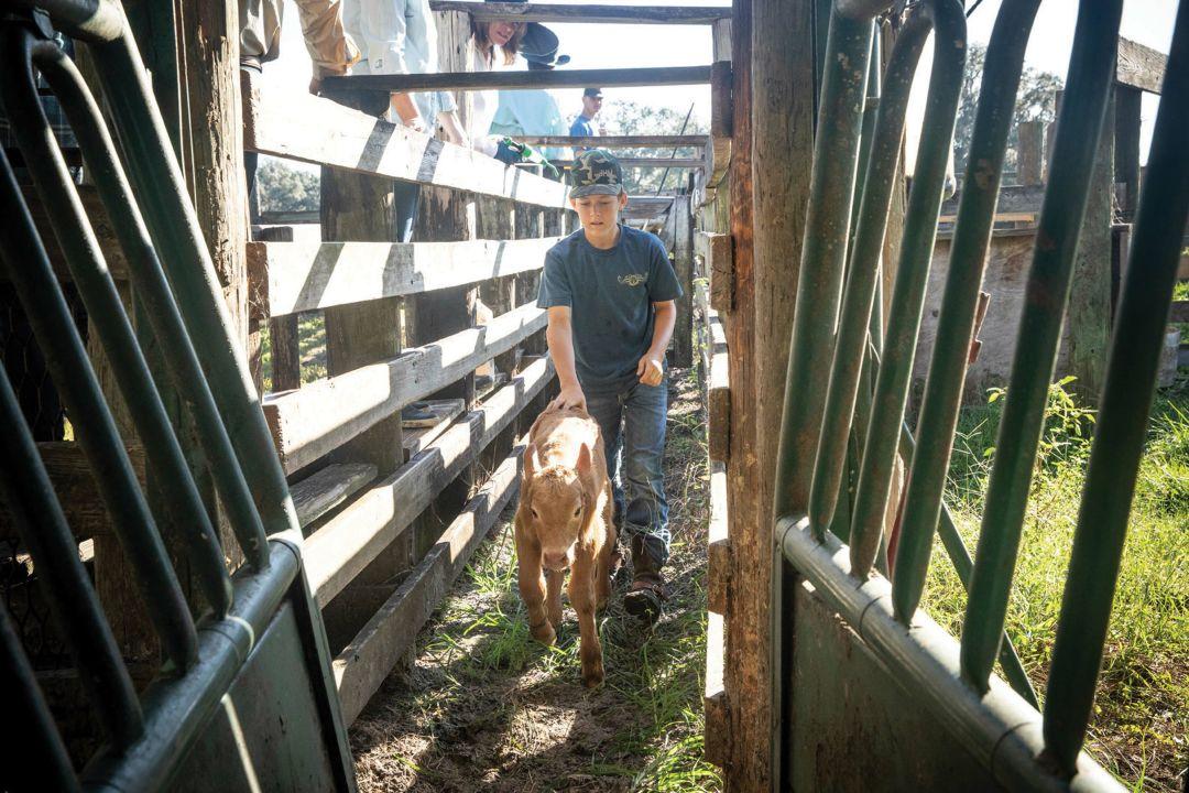 Jason McKendree herds a calf