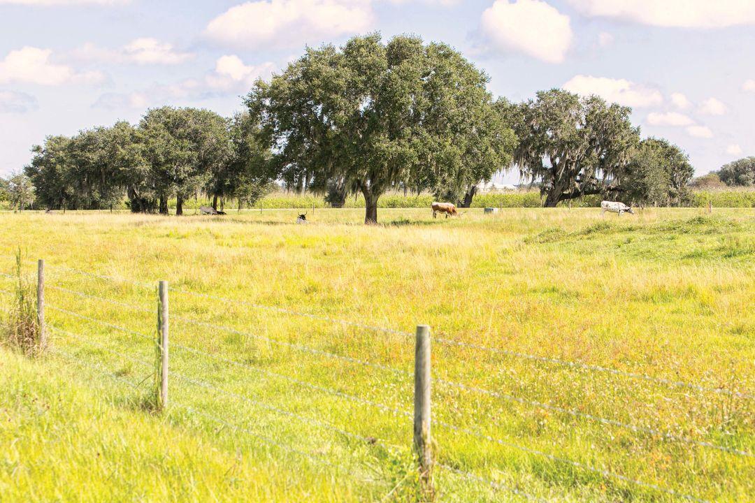 A pastoral scene in Old Miakka