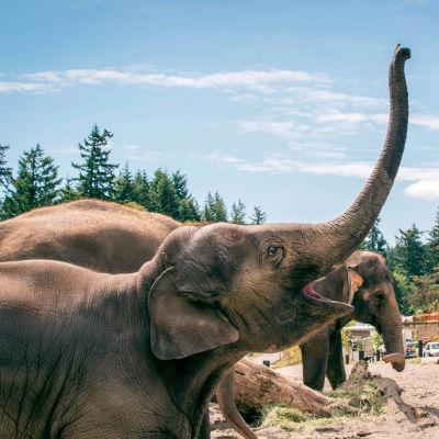 Elephants txtp33