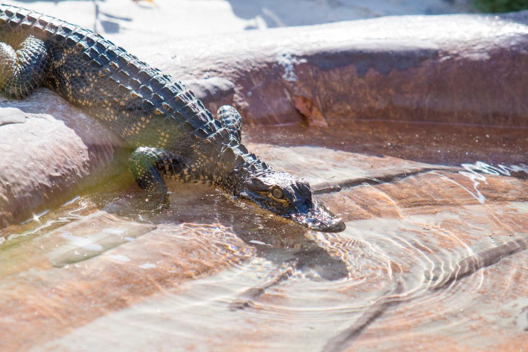 Alligatorwelcoming 20170207 028 nzwohk