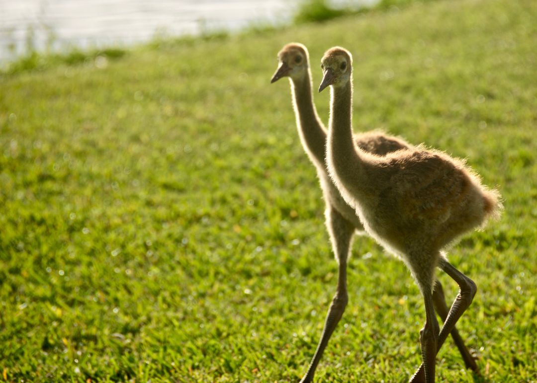 You'll spot juvenile sandhill cranes out and about at Palmer Ranch.