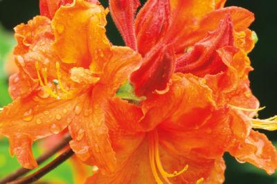 Rhododendron mg8ng3
