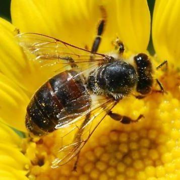 Dark honey bee hemberger mgnvcd