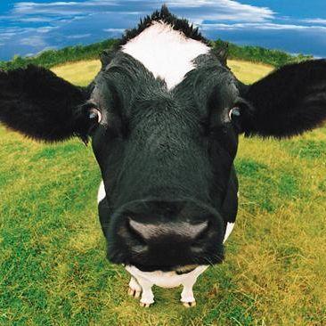 Cow mqrtgg