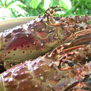 Sarasotamaglobster488 fdv4ym