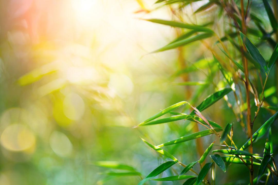 Bradenton's Mixon Fruit Farms is harvesting edible organic bamboo.
