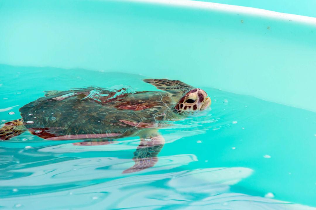Hookee the sea turtle recovers at Mote's Sea Turtle Rehabilitation Hospital.