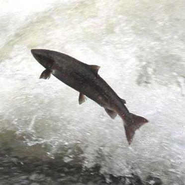 Salmon spawning qaaj8z