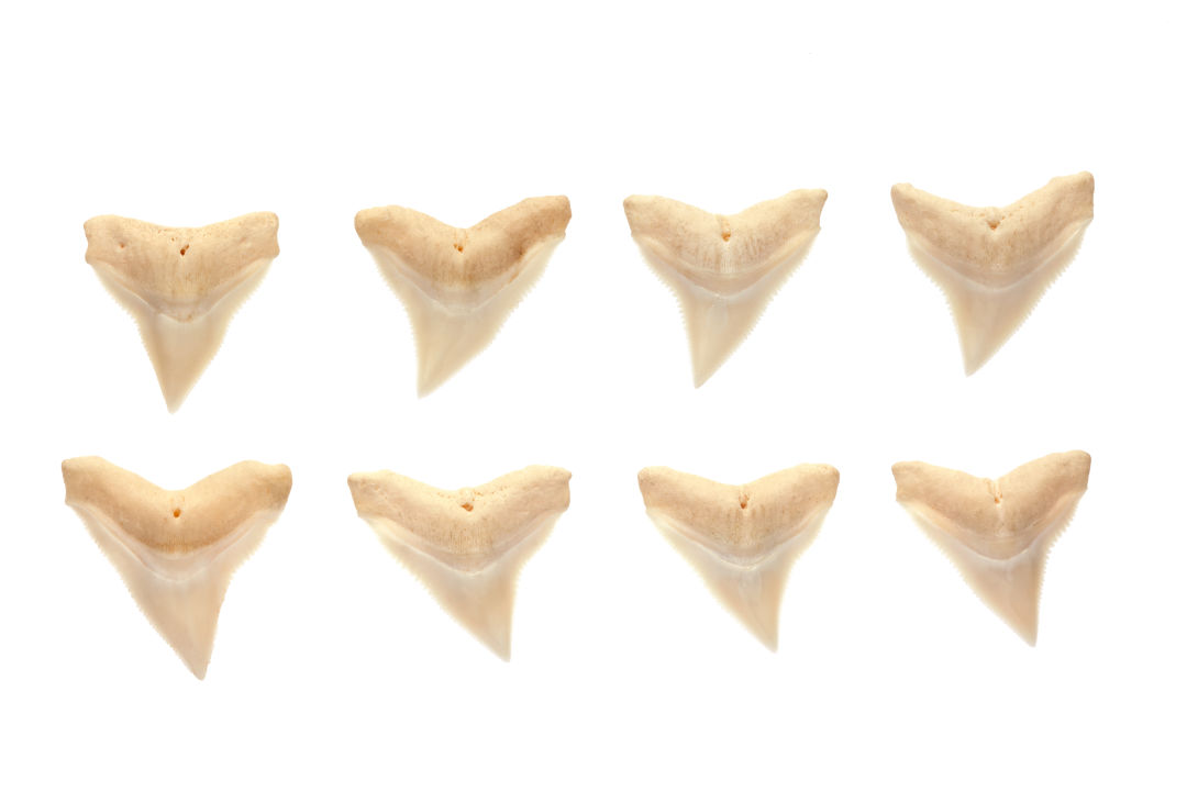 Sharks teeth bkmecx