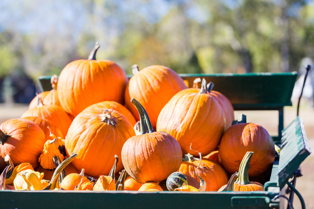 Pick the perfect pumpkin at one of these local patches.
