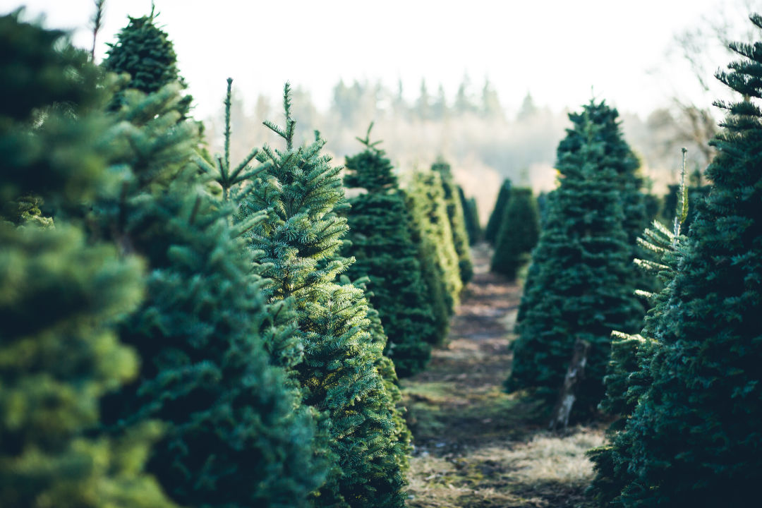 Which is better for the environment? Real or artificial Christmas trees