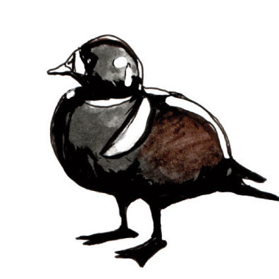 0813 harlequin duck cryght