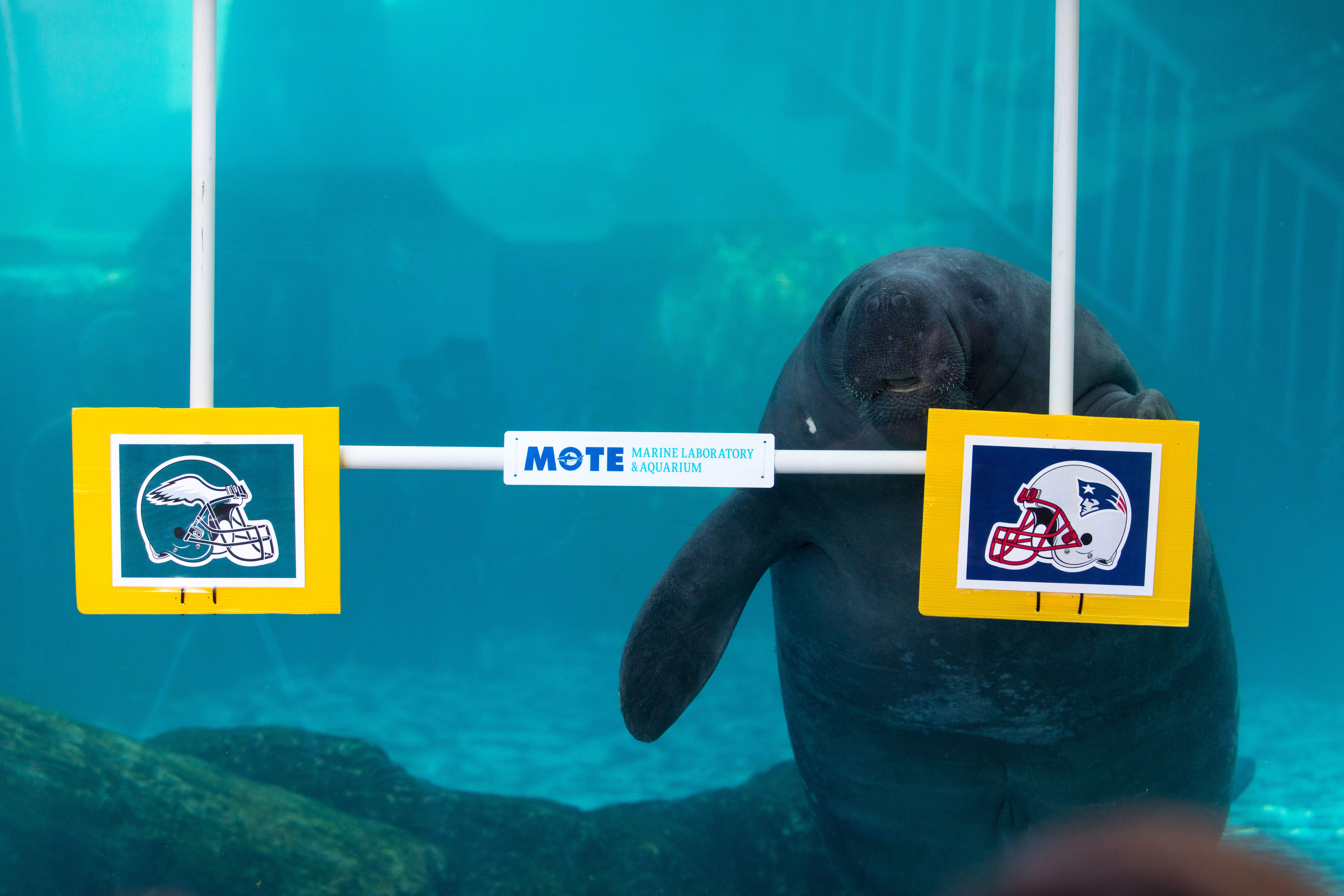 Manateesuperbowlpredictions 20180201 012 yw0434
