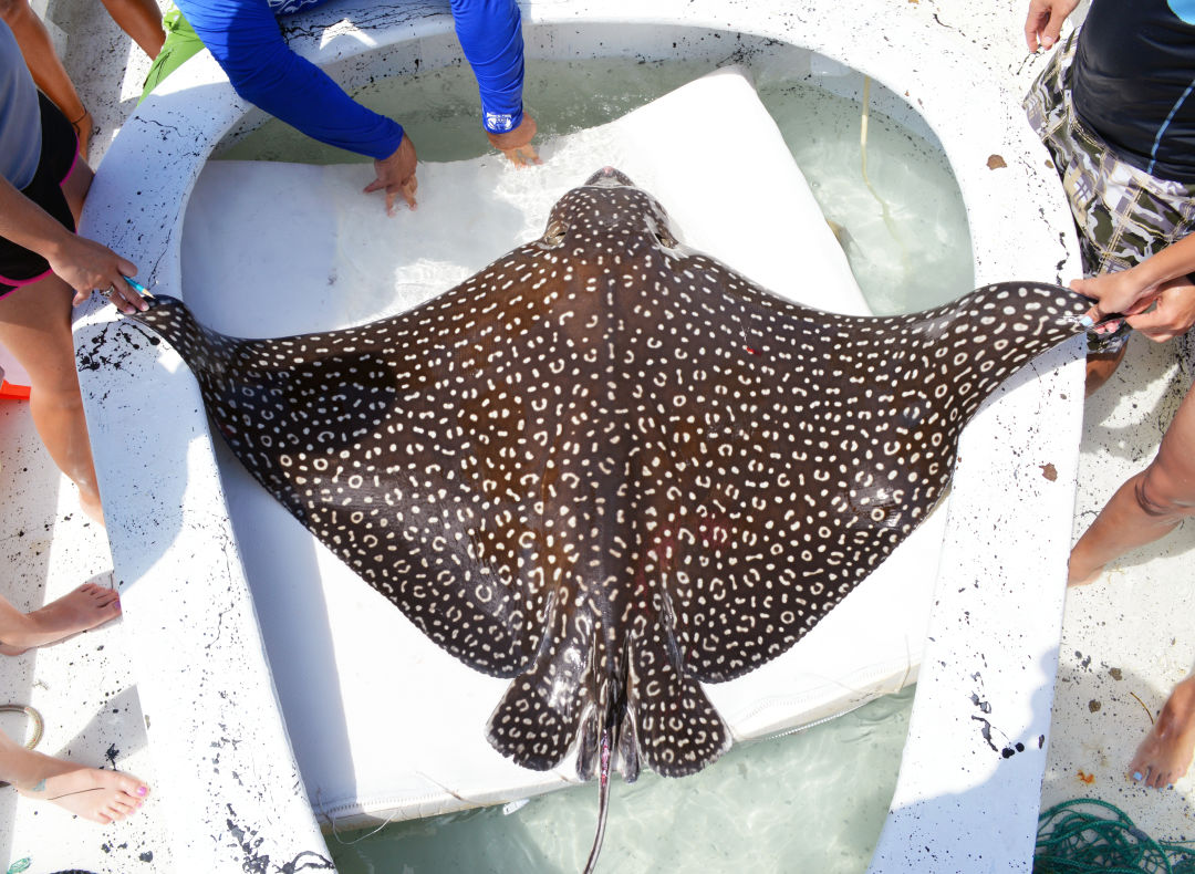 Like snowflakes, each eagle ray's pattern is completely unique.
