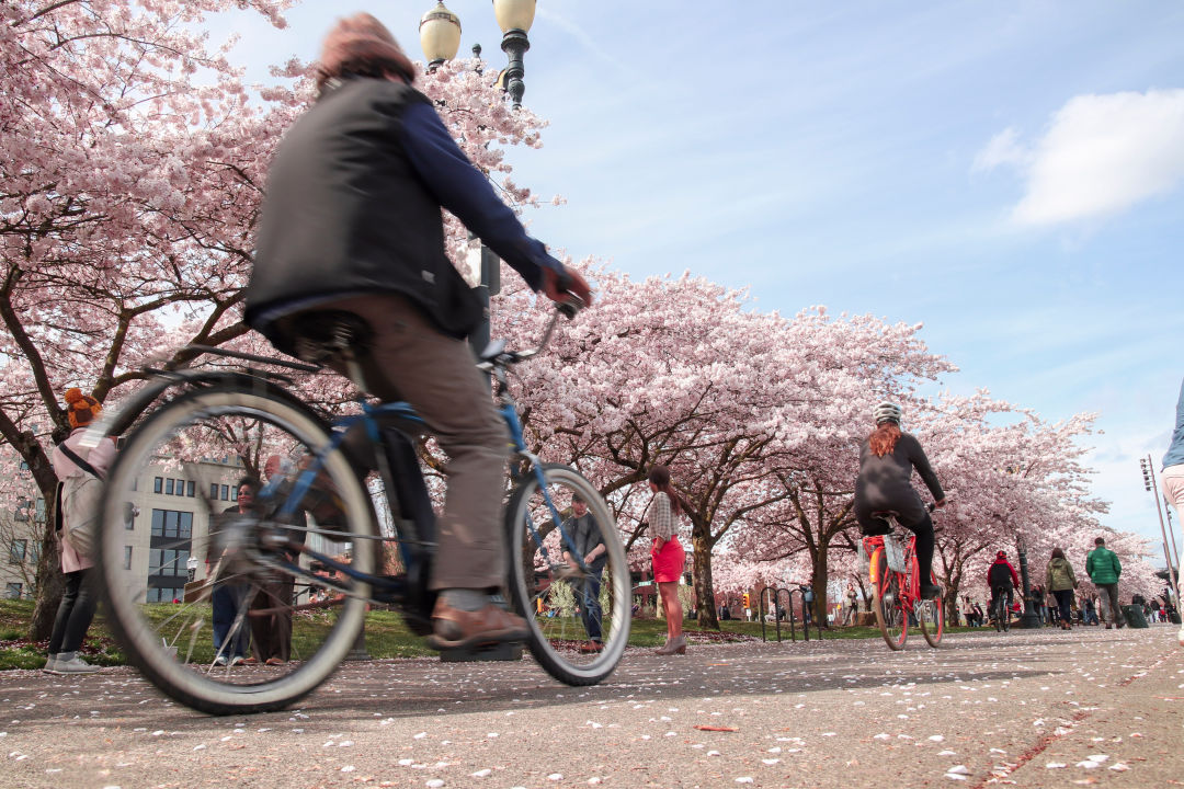 Bicyclists on a path near cherry blossoms