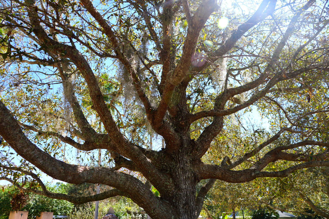 A cathedral live oak