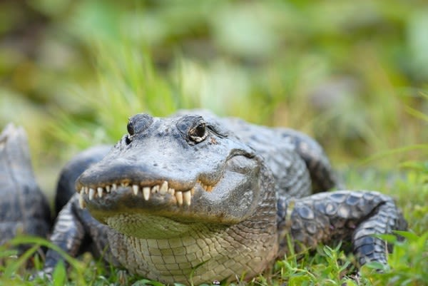 Mote american alligator qrauqq