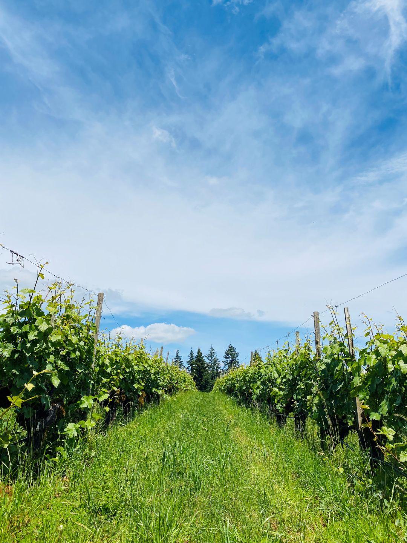Argyle vineyards in June