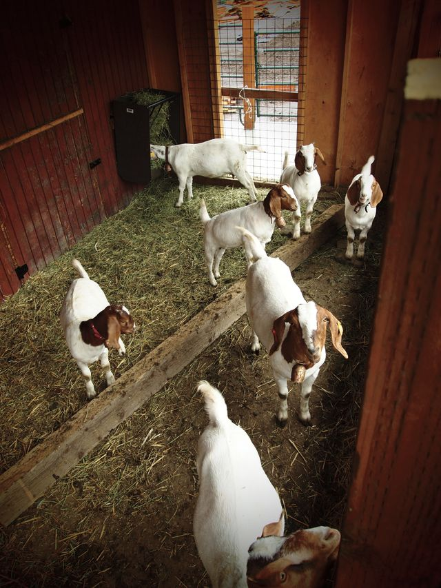 Pcsu 16 bill white farms goats yyynod