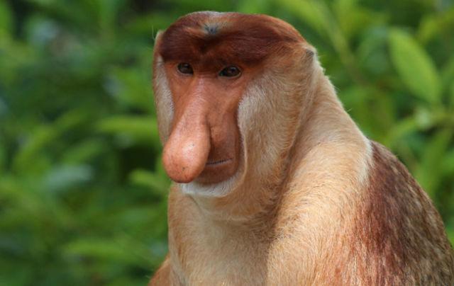 Monkey qi5coc