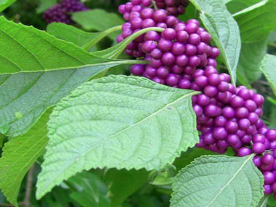 Beautyberries625x416 usuu9y
