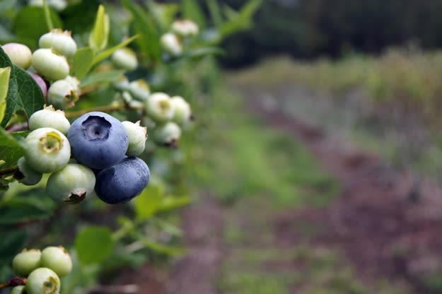 Blueberryrowroom625x swolyy