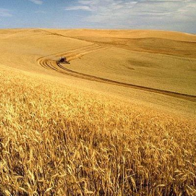 Wheat harvest ahhefx